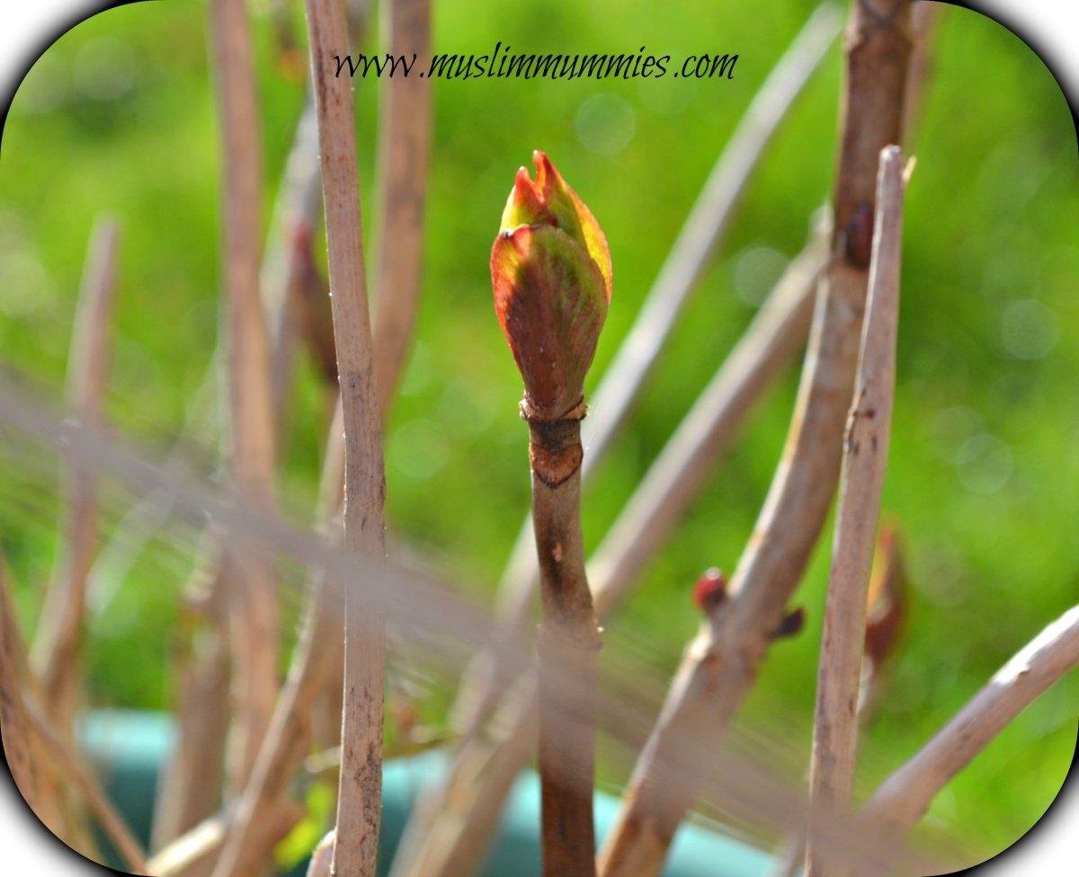 New hydrangea growth