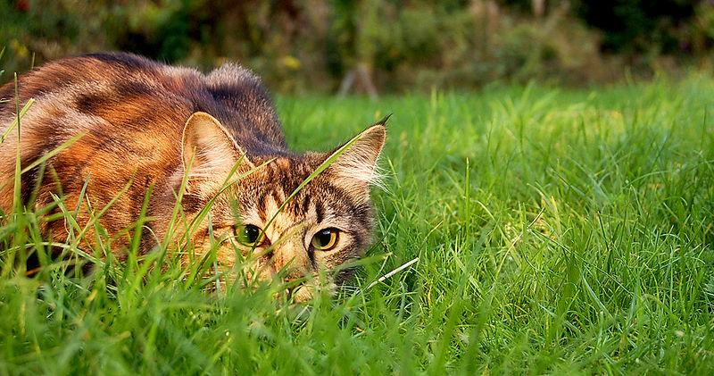 Cat stalks prey