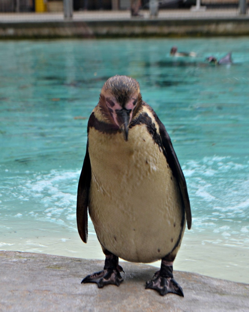Penguin at ZSL London Zoo