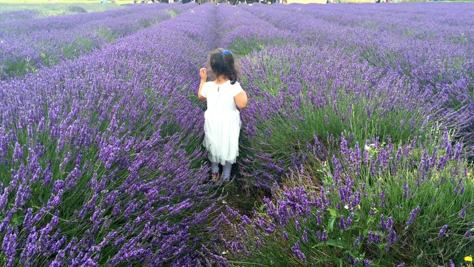 Walking through lavender