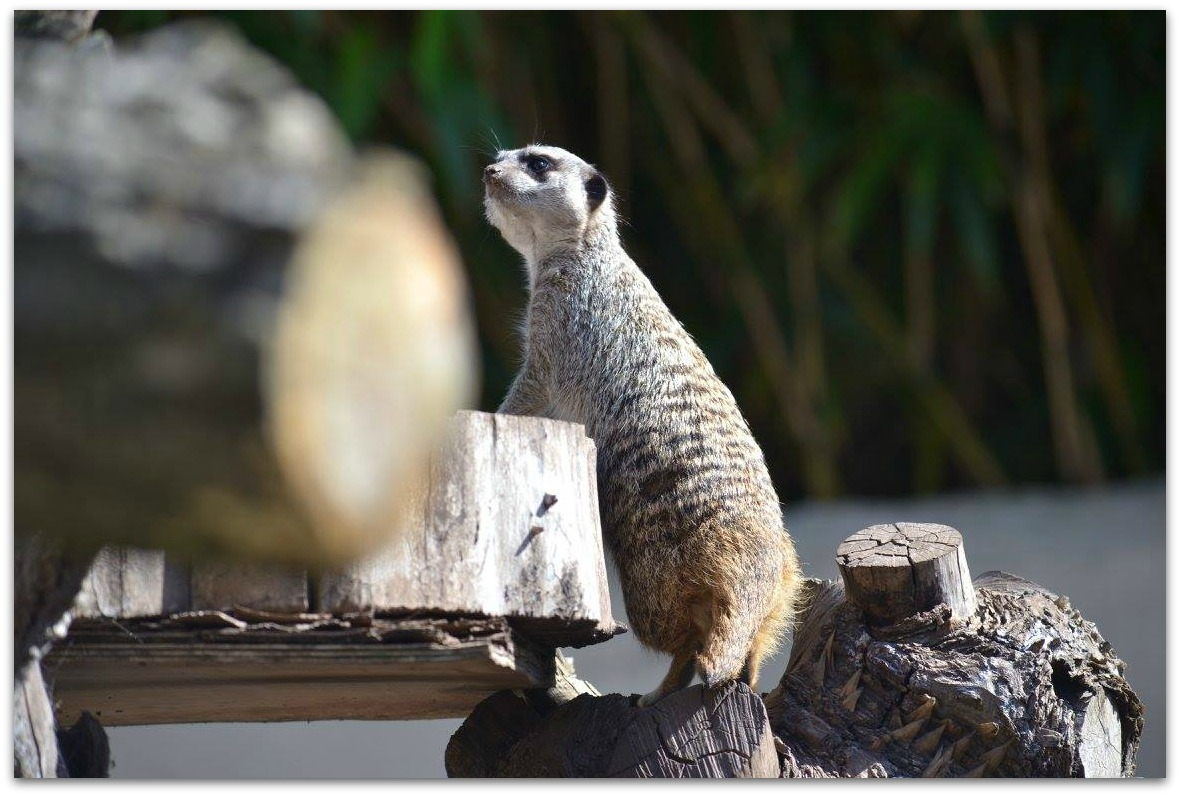 Meerkat at Drayton Manor