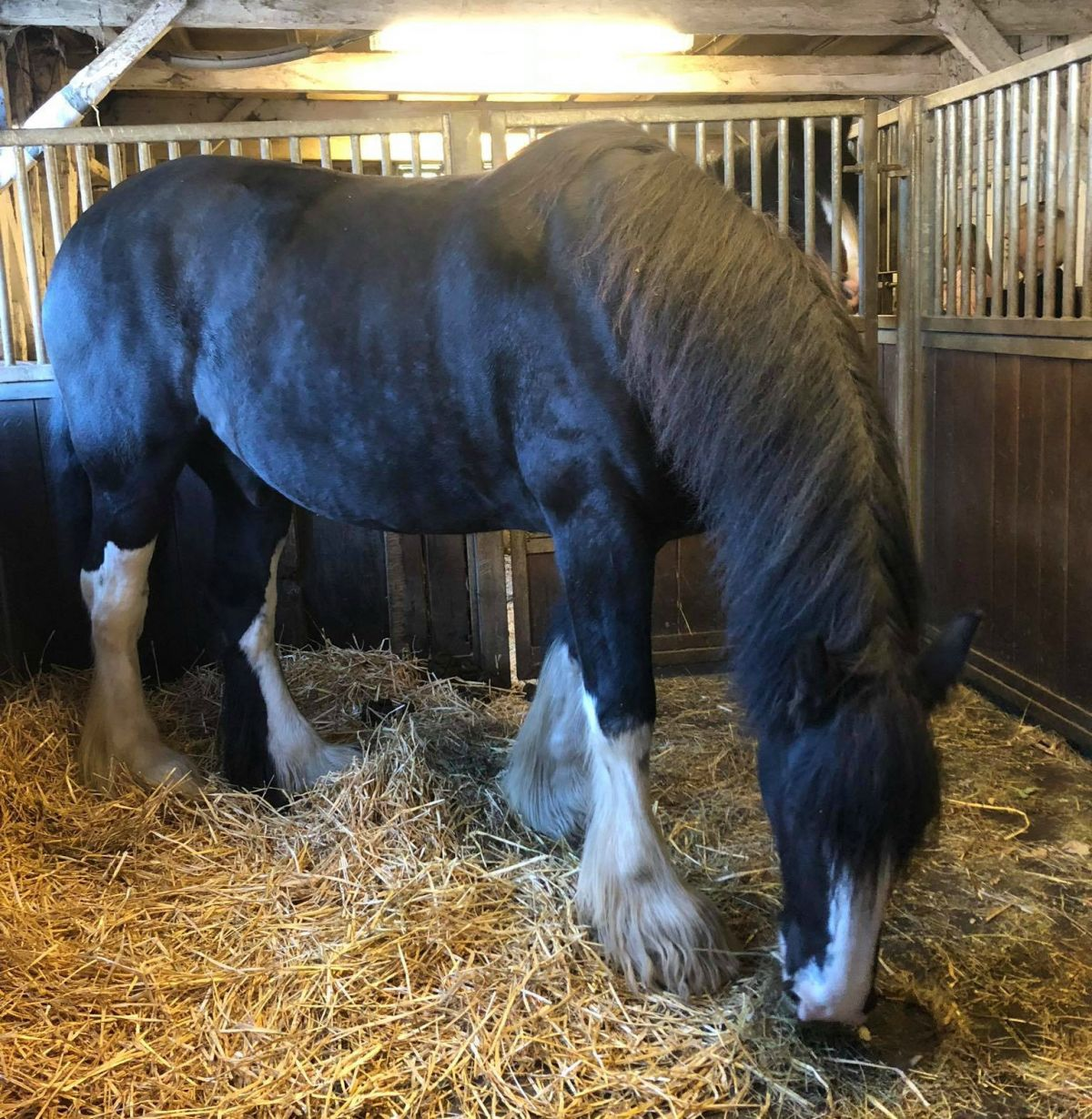 Shire Horse in his stable